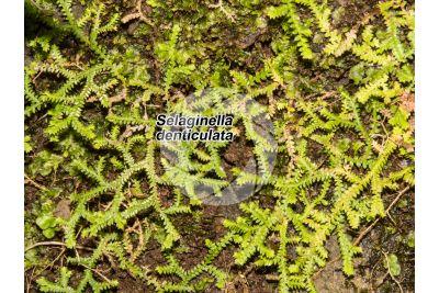 Selaginella denticulata
