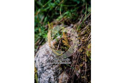 Selaginella selaginoides. Lesser clubmoss