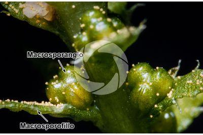 Selaginella selaginoides. Strobilo