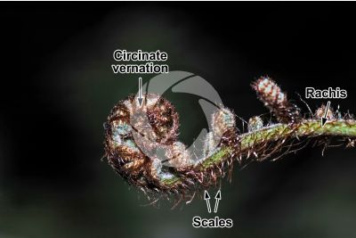 Ferns. Circinate vernation