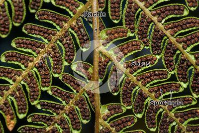 Tree ferns. Leaf