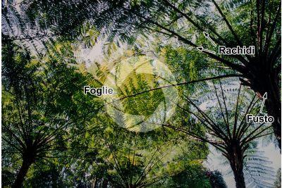 Felci arboree