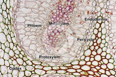 Adiantum sp. Walking fern. Rhizome. Amphiphloic siphonostele. Transverse section. 250X