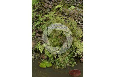 Adiantum capillus-veneris. Maidenhair fern