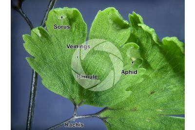 Adiantum capillus-veneris. Maidenhair fern. Leaf. 5X