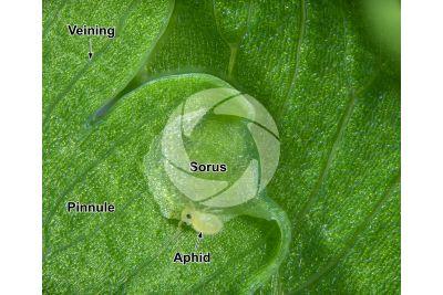 Adiantum capillus-veneris. Maidenhair fern. Leaf. 15X