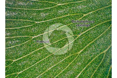 Adiantum capillus-veneris. Maidenhair fern. Leaf. 30X