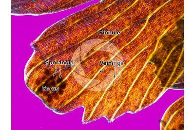 Adiantum capillus-veneris. Maidenhair fern. Sorus. 30X