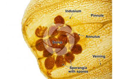 Adiantum capillus-veneris. Maidenhair fern. Sorus. 60X