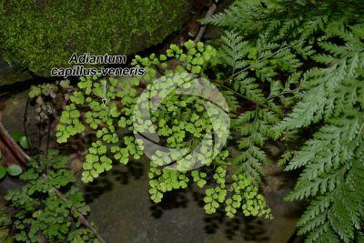 Adiantum capillus-veneris. Capelvenere