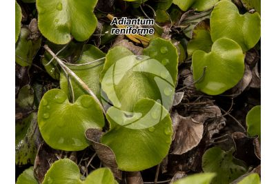 Adiantum reniforme. Lotus-leaved maidenhair fern