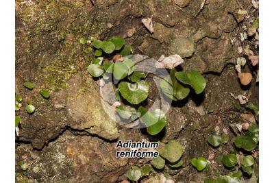 Adiantum reniforme