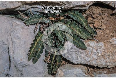 Asplenium ceterach. Rustyback