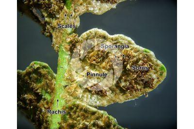 Asplenium ceterach. Rustyback. Leaf. 5X
