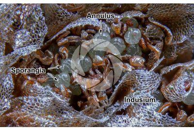 Asplenium ceterach. Rustyback. Sorus. 25X