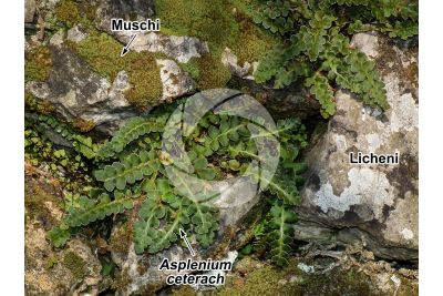 Asplenium ceterach. Cedracca