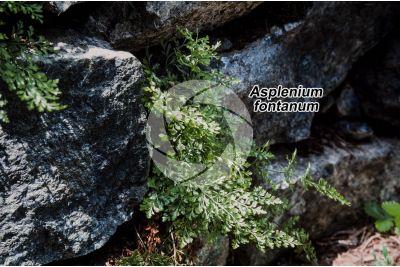 Asplenium fontanum