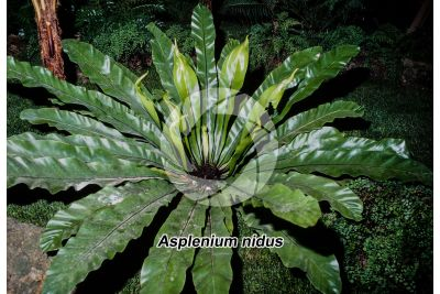 Asplenium nidus. Nest fern