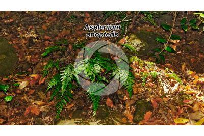 Asplenium onopteris. Irish spleenwort