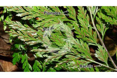 Asplenium onopteris. Irish spleenwort. Leaf