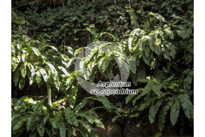 Asplenium scolopendrium