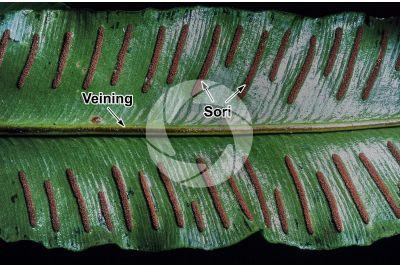 Asplenium scolopendrium. Leaf