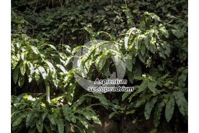 Asplenium scolopendrium. Lingua di cervo
