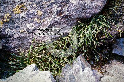 Asplenium septentrionale. Northern spleenwort