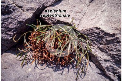 Asplenium septentrionale