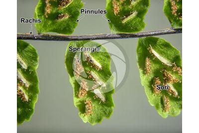 Asplenium trichomanes. Maidenhair spleenwort. Leaf. 5X