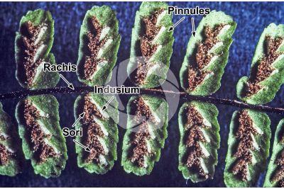 Asplenium trichomanes. Maidenhair spleenwort. Leaf