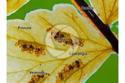 Asplenium trichomanes. Maidenhair spleenwort. Leaf. 10X