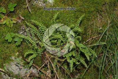 Asplenium viride. Green spleenwort