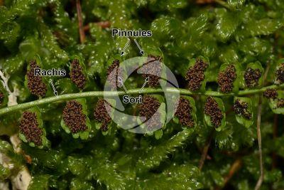 Asplenium viride. Green spleenwort. Leaf