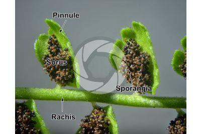 Asplenium viride. Green spleenwort. Sorus. 7X