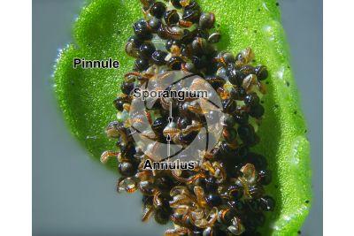 Asplenium viride. Green spleenwort. Sorus. 20X