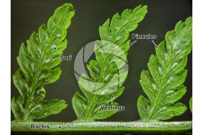 Athyrium filix-femina. Common lady-fern. Leaf. 5X