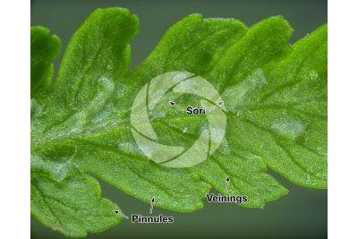 Athyrium filix-femina. Common lady-fern. Leaf. 15X