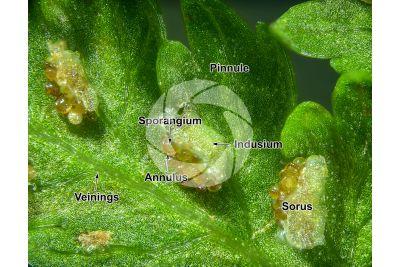 Athyrium filix-femina. Common lady-fern. Leaf. 25X