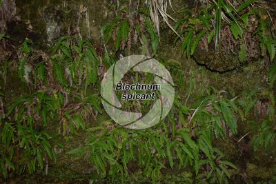 Blechnum spicant. Hard-fern