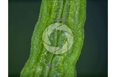 Blechnum spicant. Hard-fern. Sporophyll. 25X