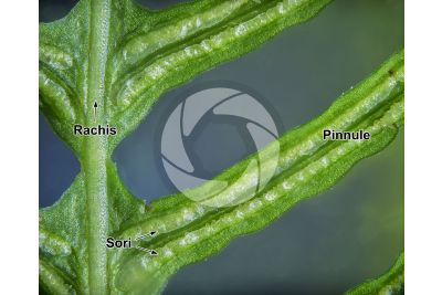 Blechnum spicant. Hard-fern. Sporophyll. 5X