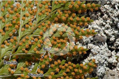 Culcita macrocarpa. Leaf