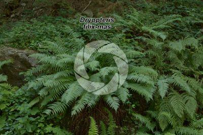 Dryopteris filix-mas. Male fern