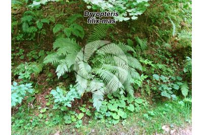 Dryopteris filix-mas. Male fern
