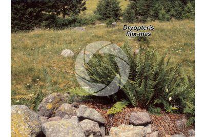 Dryopteris filix-mas. Felce maschio