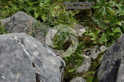 Gymnocarpium robertianum. Limestone fern