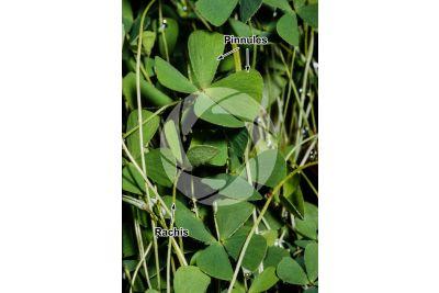 Marsilea quadrifolia