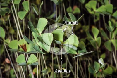 Marsilea quadrifolia. Quadrifoglio acquatico
