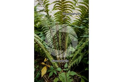 Matteuccia struthiopteris. Ostrich fern